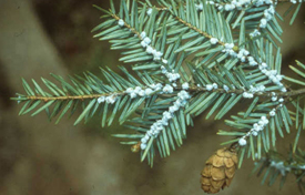 example of woolly adelgid hemlock blight